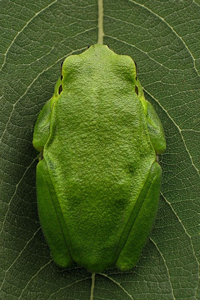 Békaszimmetria • zöld levelibéka • 2005.08.28.