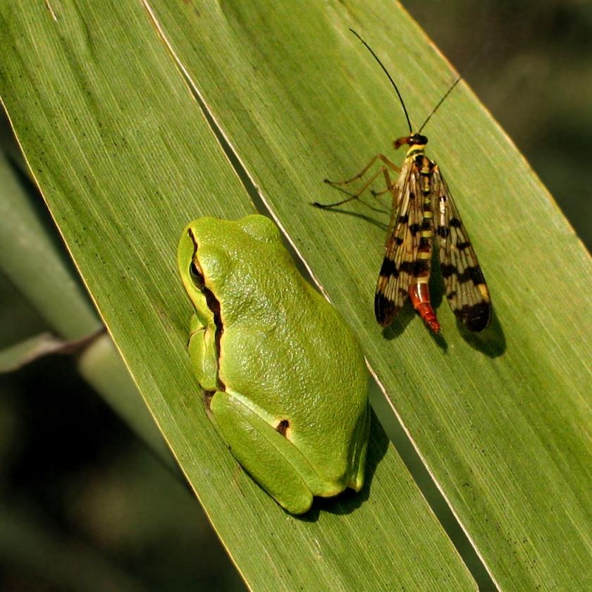 Édeskettes • zöld levelibéka • 2005.09.03.