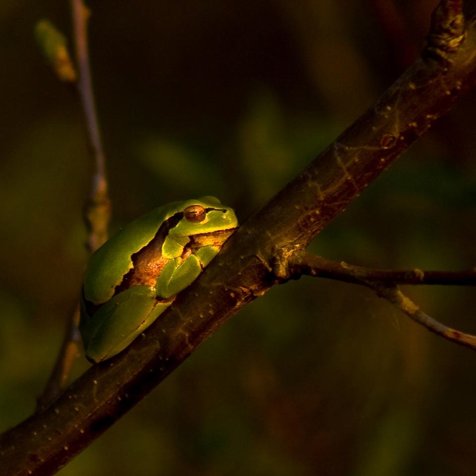 Aklony • zöld levelibéka • 2009.04.10.