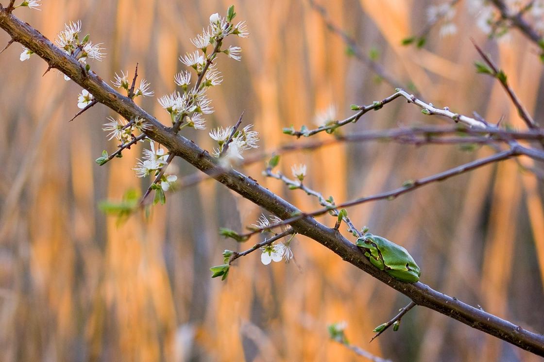 Tavaszhírnök • zöld levelibéka • 2010.04.17.