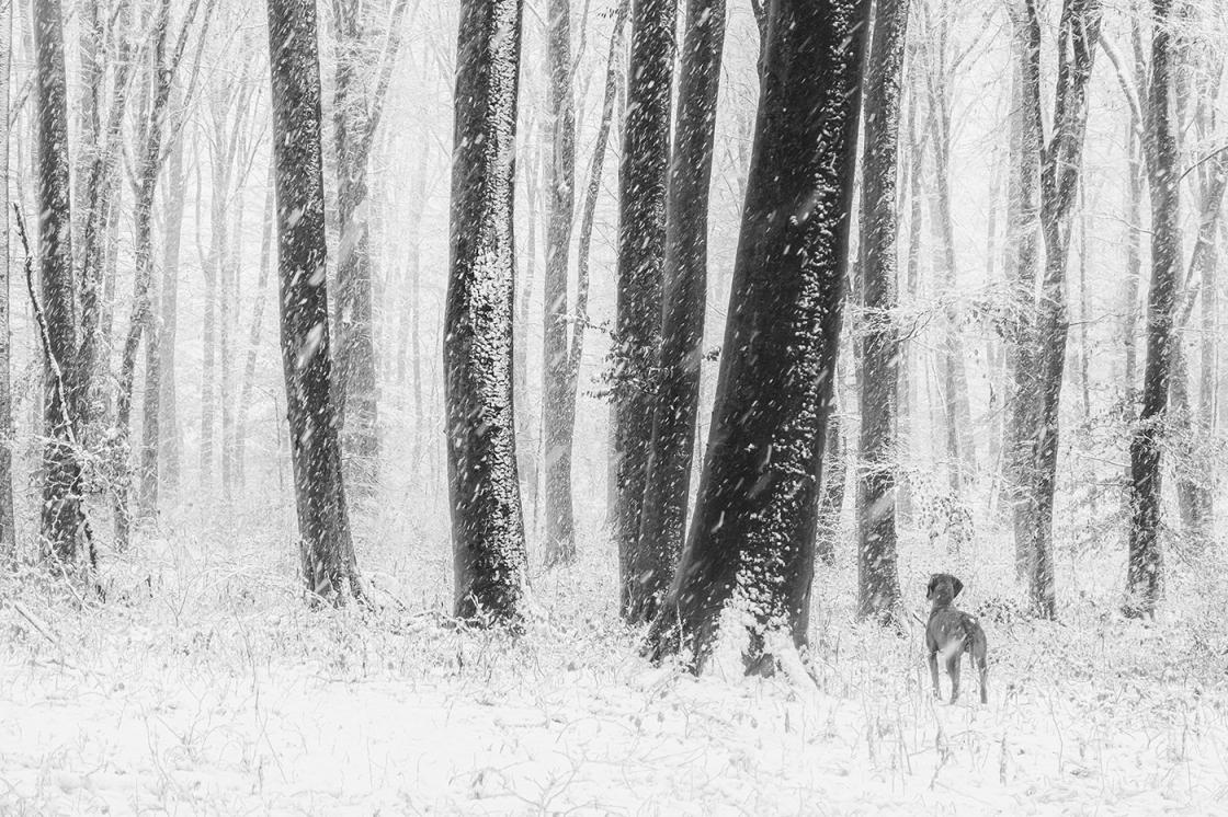 Bajcsai bükkös hóesésben