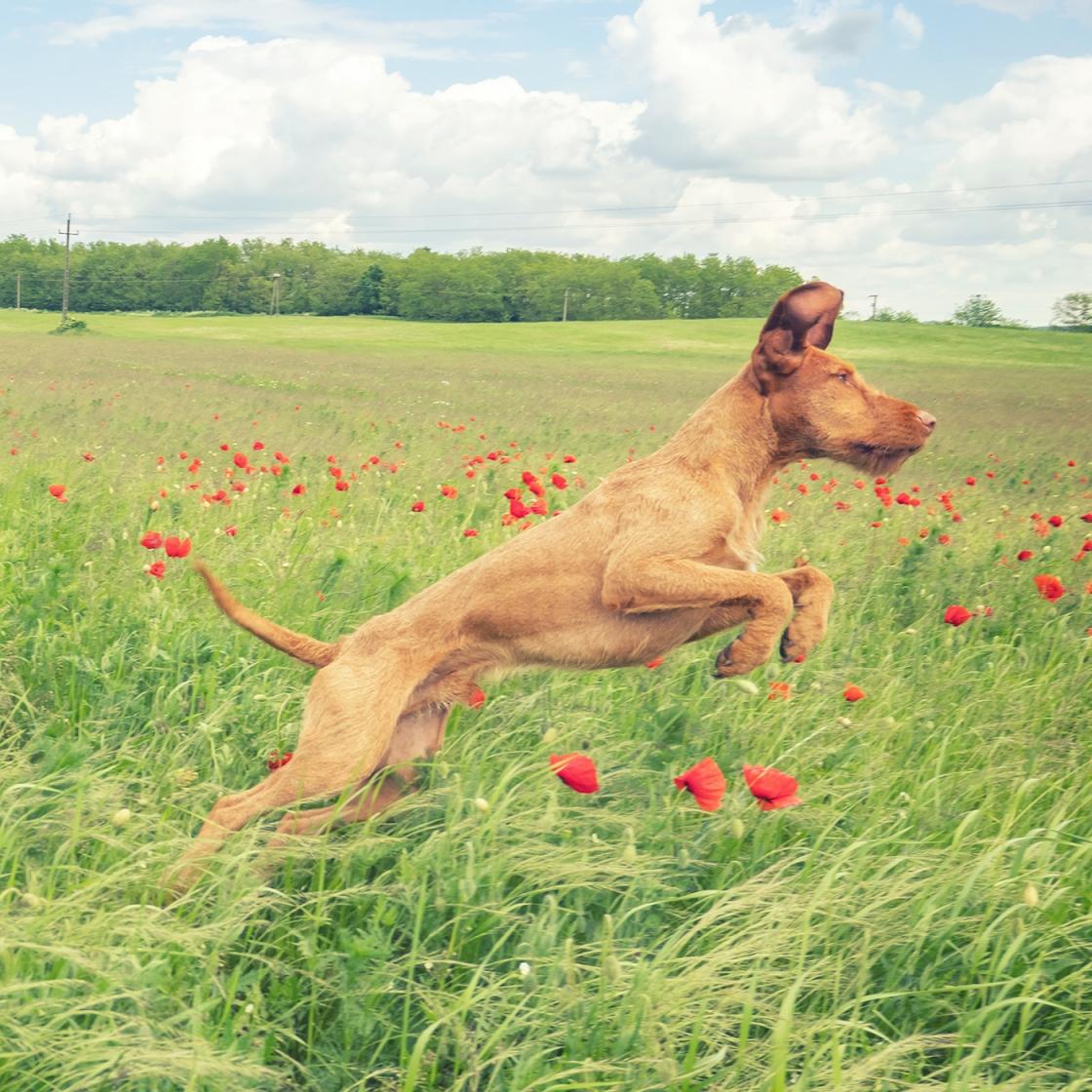 Repülő kutya pipacsokkal