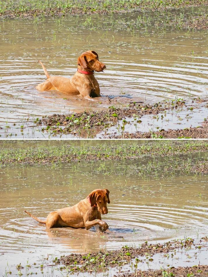 Pancsoló kutya